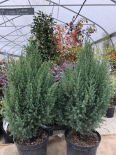 Juniperus Chinensis 'Stricta' (PEPINIERES SOUBIRAN)